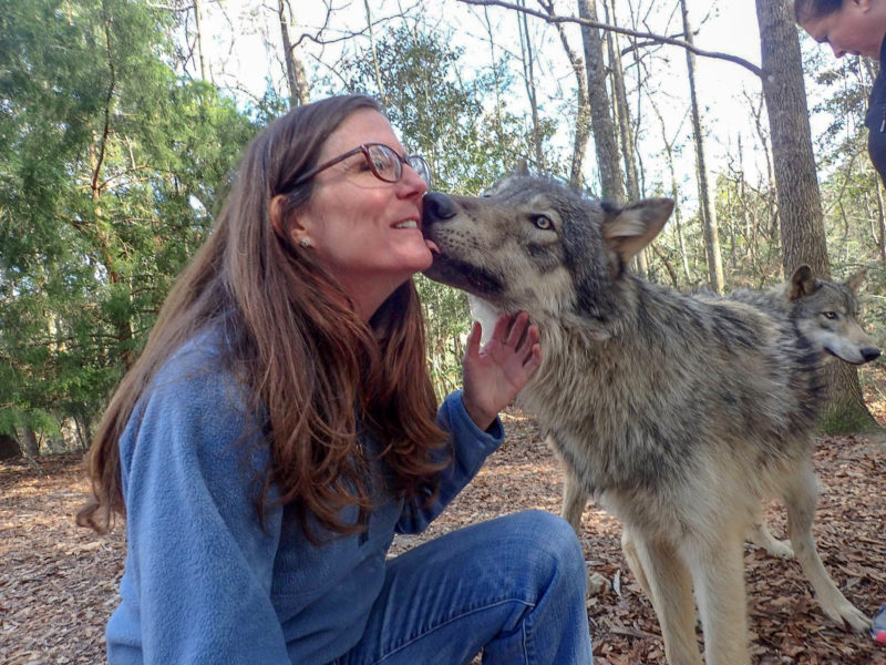 A guest to Seacrest Wolf Preserve gets a little love from one of the resident wolves.